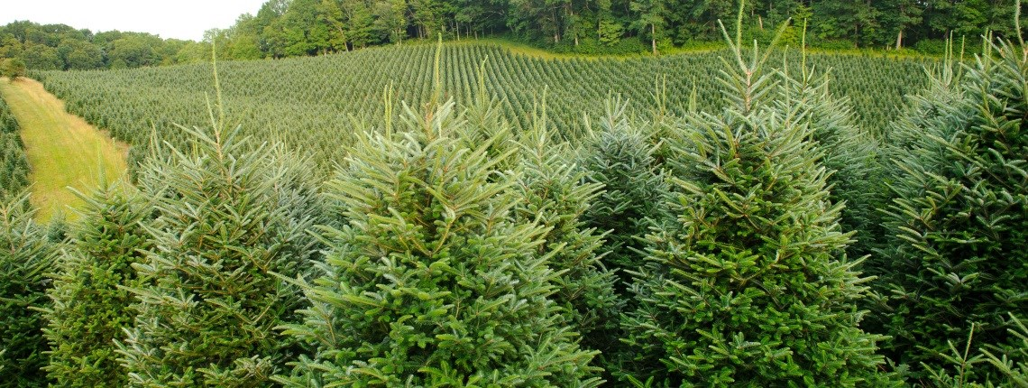Cut your own Christmas tree near me. Buy Christmas tree near me in UK | ChristmasTreeFarms.co.uk